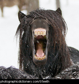 Photo of a horse with teeth.