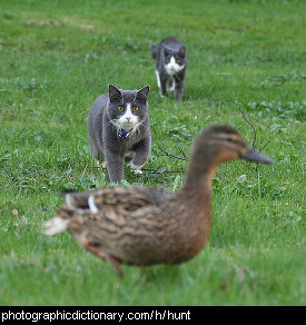 Photo of cats hunting a duck