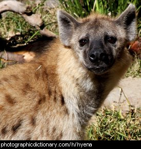 Photo of a hyena
