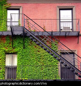 Photo of a wall covered in ivy