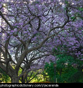 Photo of jacaranda trees