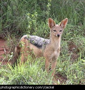 Photo of a jackal
