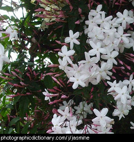 Photo of common jasmine