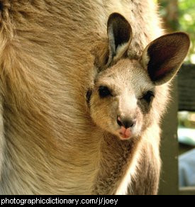 Photo of a baby kangaroo