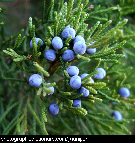 Photo of juniper berries
