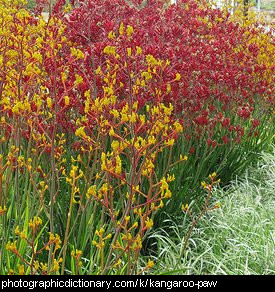 Photo of kangaroo paw plants