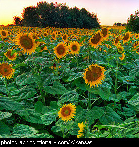 Photo of sunflowers in Kansas