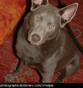 Photo of a kelpie dog