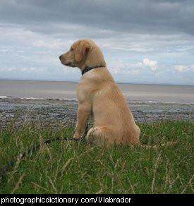 Photo of a labrador