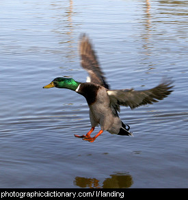 Photo of a duck landing