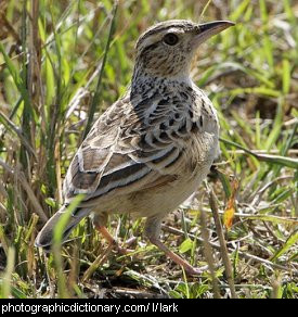 Photo of a lark