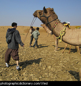 Photo of a camel being led