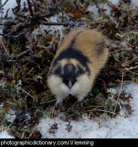 Photo of a lemming