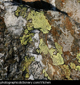 Photo of lichen on a rock.
