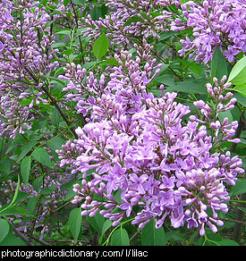 Photo of lilac flowers