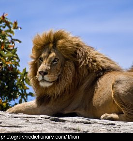 Photo of a lion.