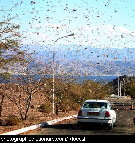 Photo of a swarm of locusts
