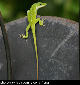 Photo of a lizard with a long tail