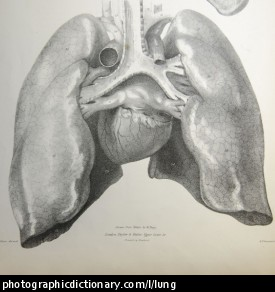 Anatomical drawing of heart and lungs