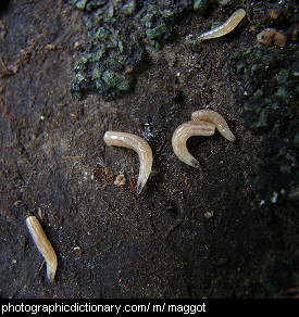Photo of maggots