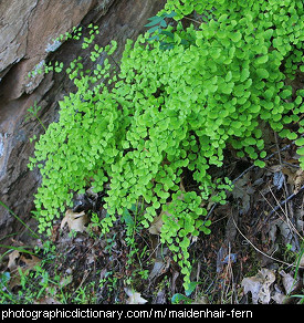 Photo of a maidenhair fern