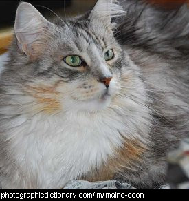 Photo of a maine coon cat