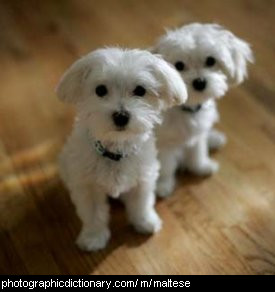 Photo of maltese dogs