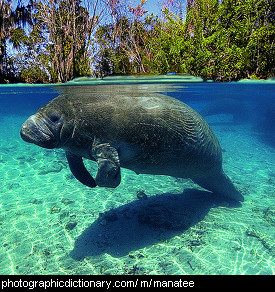 Photo of a manatee