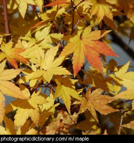 Photo of a maple tree
