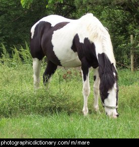 Photo of a mare.