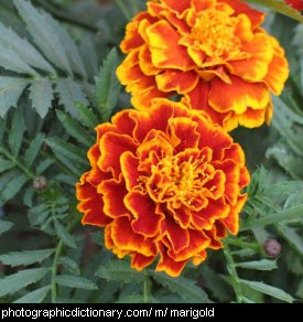 Photo of marigold flowers