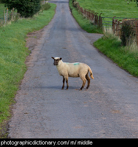 Photo of a sheep in the middle of the road