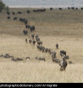 Photo of animals migrating