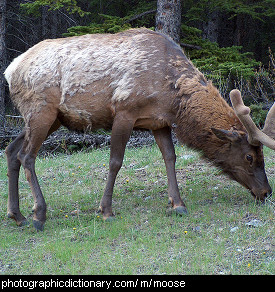 Photo of a moose