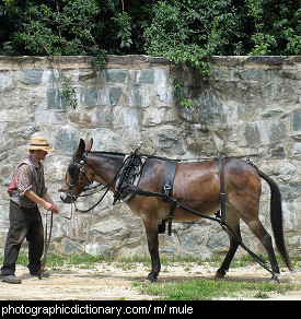 Photo of a mule