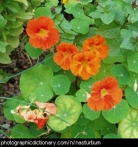 Photo of a nasturtium