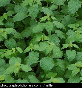 Photo of stinging nettles