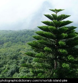 Photo of a norfolk island pine tree