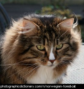 Photo of a norwegian forest cat