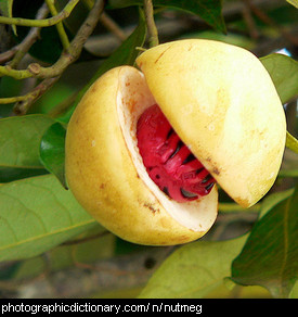 Photo of nutmeg fruit
