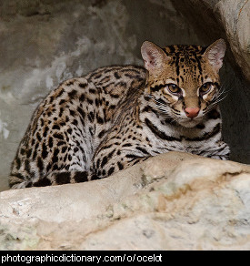 Photo of an ocelot