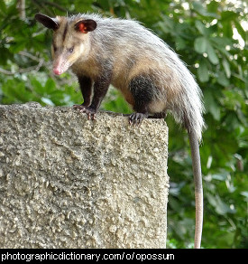 Photo of an opossum