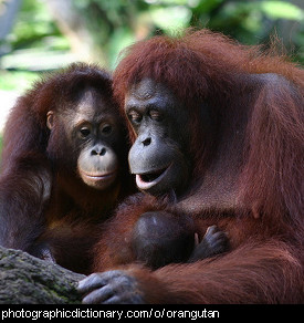 Photo of a family of orangutans