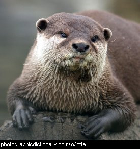 Photo of an otter.