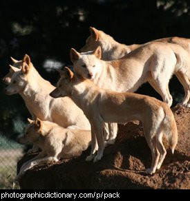 Photo of a pack of dogs
