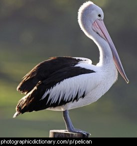 Photo of a pelican