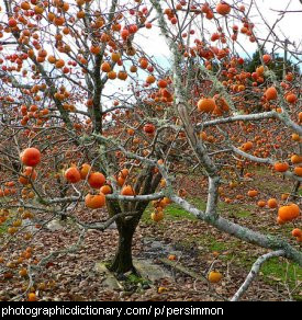 Photo of persimmon trees
