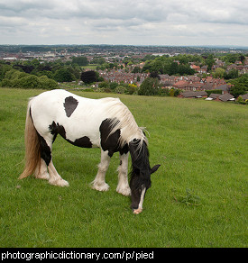 Photo of a piebald horse