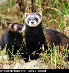 Photo of two polecats.