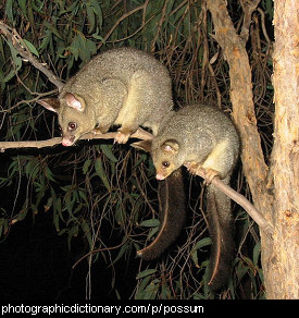 Photo of possums.